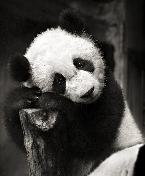 305 аватарки панды