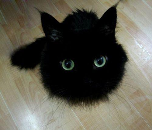 черные коты фотография