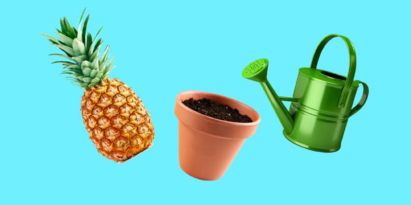 вырастить ананас в домашних условиях